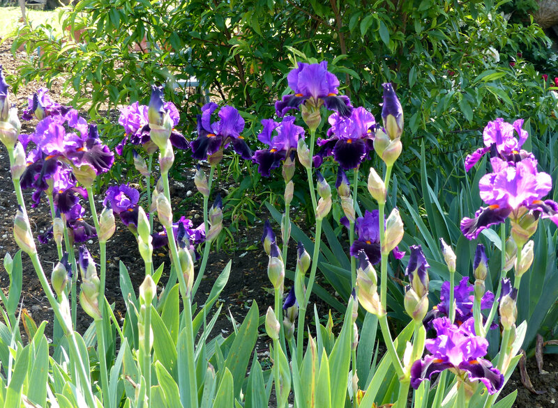 iris local color (6)