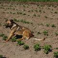2009 05 29 Kapy au milieu des pommes de terres