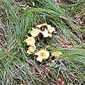 Girolle améthyste (cantharellus cibarius var. amethysteus)