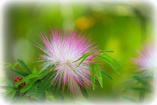 fleur acacia