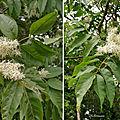 Frêne à fleurs (Oléacées)
