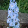 2008 07 02 Ma delphinium en fleur
