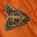 Thalpophila matura (Noctuelle cythérée)