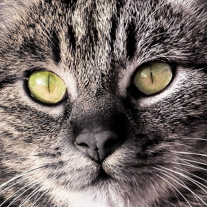 Yeux chat