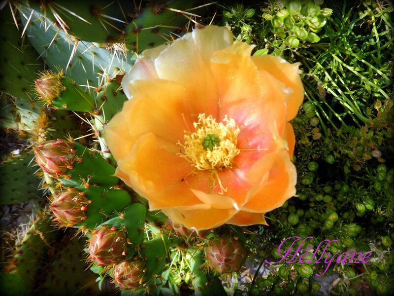 figues de barbarie - cactus (1)