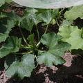 2009 06 07 Un plant de courgette