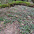Beau cèpe noir au frais sous les chênes...