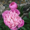 2008 06 25 Ma pivoine Crousse en fleur