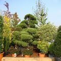 Parc Expo2010-Foli'Flore § bonsai (5)
