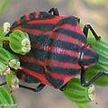 Pentatome rayé • Graphosoma lineatum • Famille des Pentatomidae