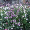 2008 09 01 Mon tabac d'ornement en pleine fleuraison