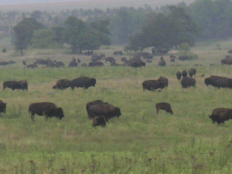 bison 19