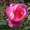 Rose 0205163