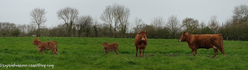 animaux vaches