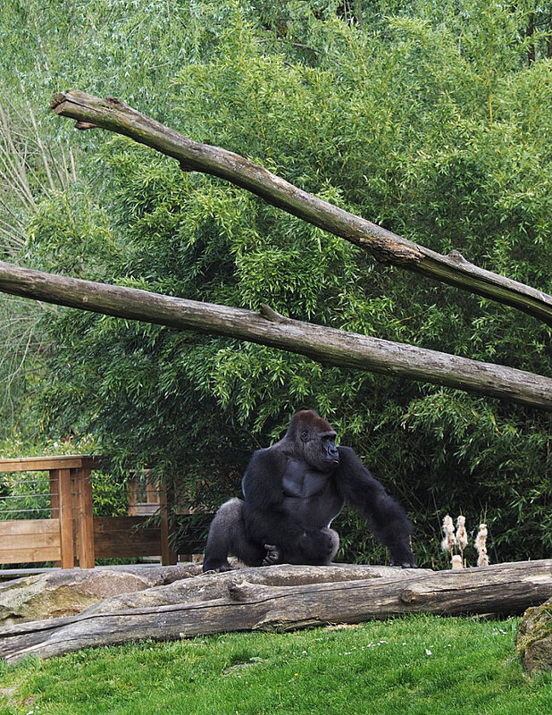 zoo-beauval-animaux-gorilles-9