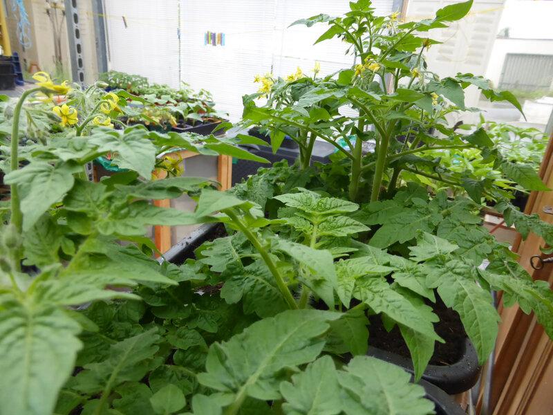 25-tomates naines (3)