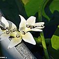 Cette belle fille de l'eau au parfum de vanille fleurit en fin d'hiver