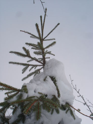 2008 12 22 Un sapin partiellement enneigé au Pilat