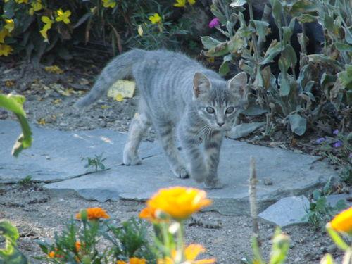 2008 08 04 Le petit chaton dans le jardin