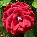 La rose reine des fleurs