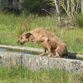 2008 10 15 Cacahuète qui a pris sont bain dans le bassin et ressort