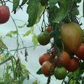 2008 09 24 Mes tomates coeurs de Boeufs sous serre