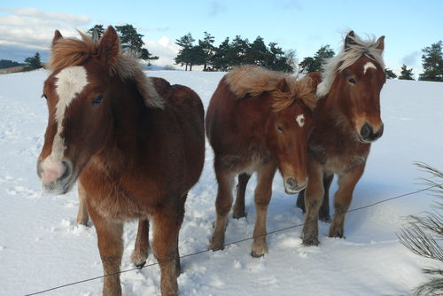 2008 12 30 Trois chevaux dans le neige