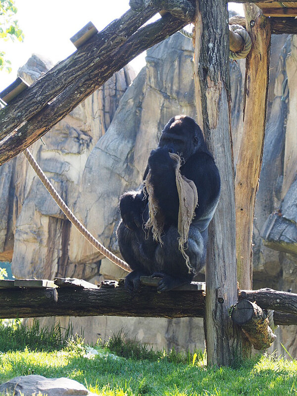 zoo-beauval-animaux-gorilles-14
