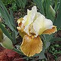 iris honey glazed (jardin)