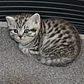 BRITISH SHORTHAIR BLACK SILVER TABBY