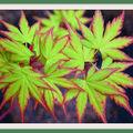 La plante du jour -> L'ERABLE DU JAPON