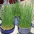 Le blé de la ste barbe 3