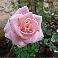 mini rosier 3