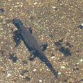 2008 05 07 Une salamandre