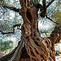 Les olivie