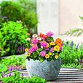2017, déclarée année du zinnia par florosélect