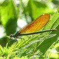 caloptéryx vierge femelle