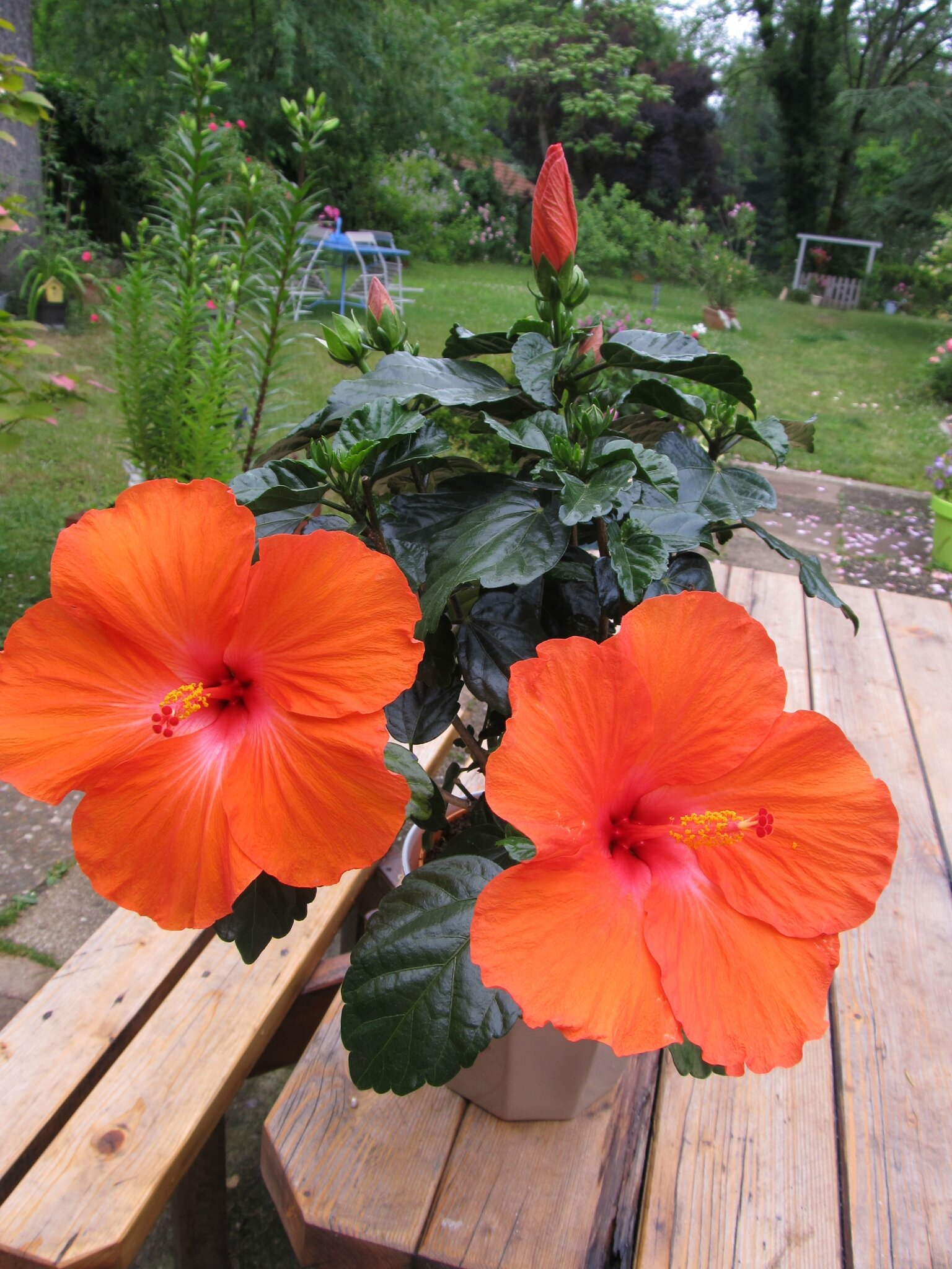 COLLECTION D' HIBISCUS