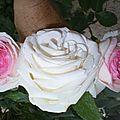 Rose et ses 2 boutons à peine éclos