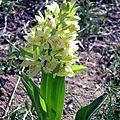 orchis sureau jaune