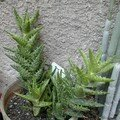 Aloe squarosa