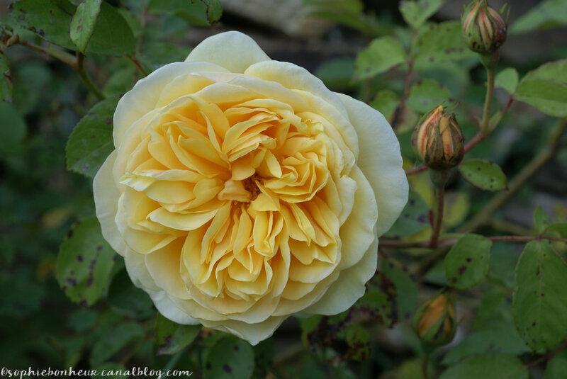 mi mai rose jaune