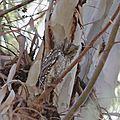 Lesbos oiseaux 17 - Petit-duc scops