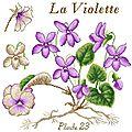 Etude botanique : La Violette