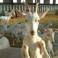 L'arrivée des chèvres.