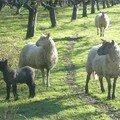 mouton13