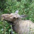 Moose P1160372