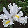 iris z. hollandica silver beauty (jardin)