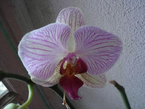2008 07 24 Mon orchidée en fleur