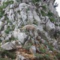 2009 06 29 Un bouquetin sur le sommet du Grand Veymont (19)